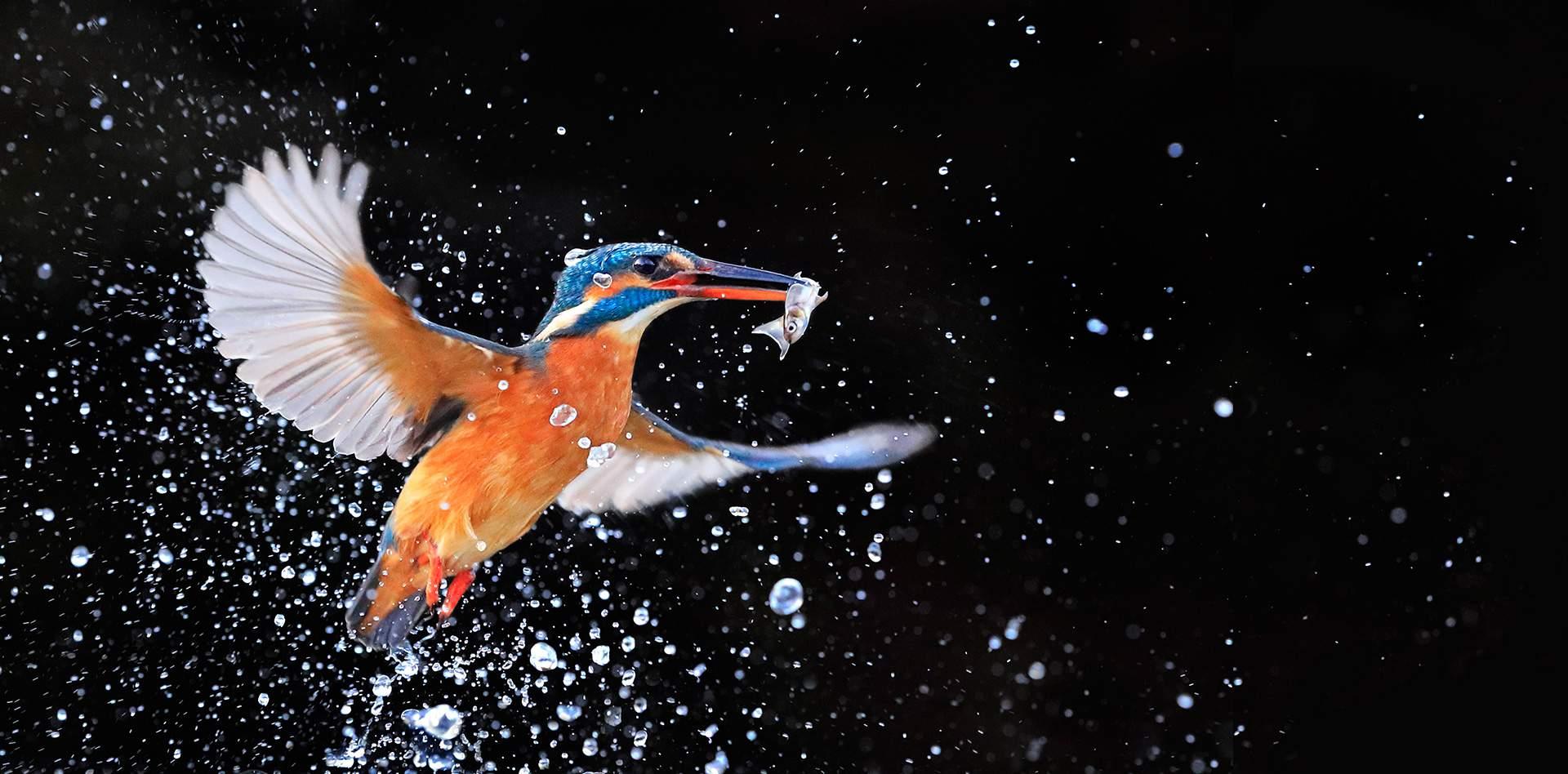 kingfisher_tcm86-1345853